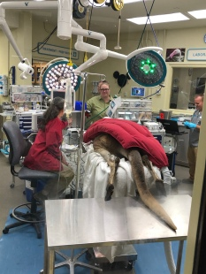 Kangaroo getting her teeth pulled!